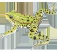 Rana verde adulto - piel 72