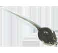 Rana xenopus - piel 71