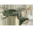 Rana xenopus adulto - piel 71