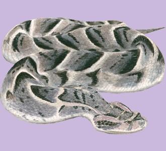 Acoger a un reptil de especie víbora bufadora