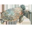 Tortuga marina caguama bebé - piel 26