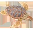 Tortuga marina caguama adulto - piel 26