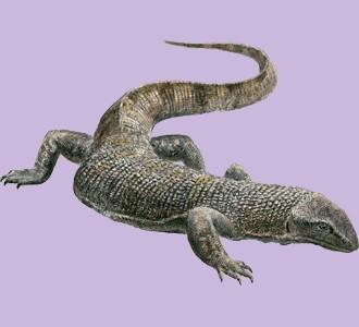 Acoger a un reptil de especie varano negro