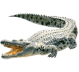 Cocodrilo adulto - piel 66