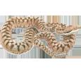 Víbora áspic adulto - piel 52